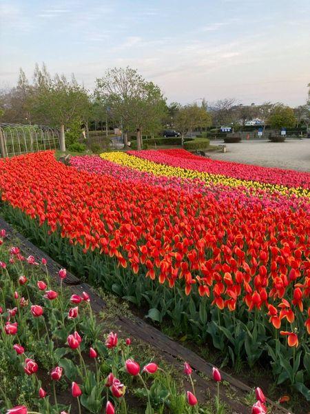 霞ヶ浦総合公園のチューリップが見頃を迎えています!page-visual 霞ヶ浦総合公園のチューリップが見頃を迎えています!ビジュアル